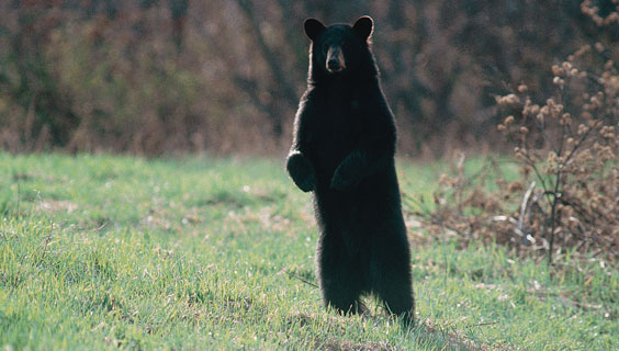 A standing bear near Cades Cove